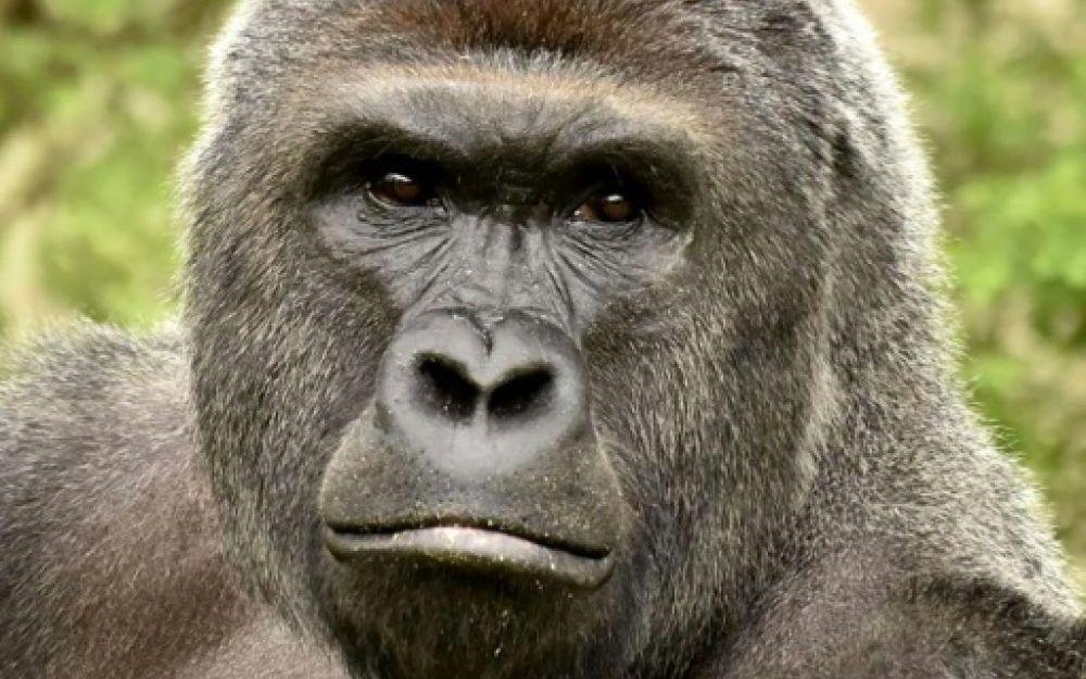 Gorille-2.jpg